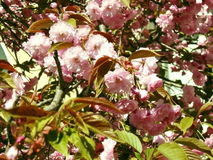 Sakura kersenbloesem in de lente, mooie roze bloemen Uzhhorod van Transcarpathië Stock Afbeelding