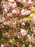 Sakura kersenbloesem in de lente, mooie roze bloemen Uzhhorod van Transcarpathië Stock Fotografie