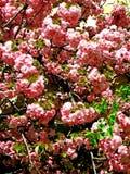 Sakura kersenbloesem in de lente, mooie roze bloemen Uzhhorod van Transcarpathië Stock Afbeeldingen