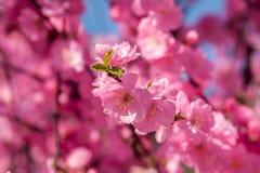 Sakura, kersenbloesem, kersenboom met bloemen Oosterse cherr royalty-vrije stock afbeeldingen