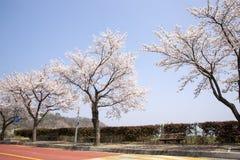Sakura of kersenboom stock foto