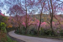 Sakura a khun chang khian Immagini Stock