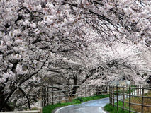 Sakura (Kirschblüte) in Japan Stockbild