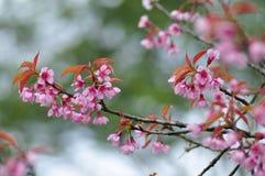 Sakura kwiat Zdjęcie Royalty Free
