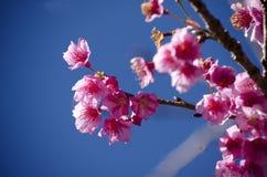 Sakura kwiat Zdjęcie Stock