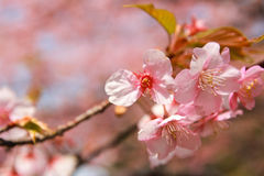 Sakura kwiat Obrazy Stock
