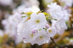 Sakura kwiat Obraz Stock