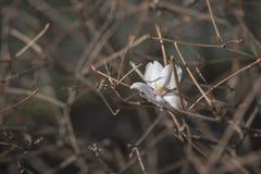 Sakura kwiat, czereśniowy okwitnięcie Fotografia Royalty Free