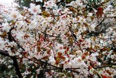 Sakura kwiat kwitnie przy parkiem w zakończeniu up Obrazy Royalty Free