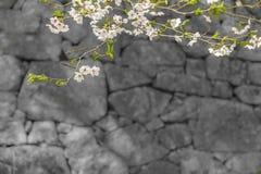 Sakura kwiat na gałąź Obrazy Stock