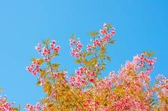Sakura kwiat na niebieskiego nieba tle Zdjęcia Stock