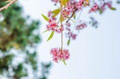Sakura kwiat na niebieskiego nieba tle Zdjęcia Royalty Free