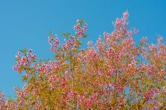 Sakura kwiat na niebieskiego nieba tle Fotografia Royalty Free