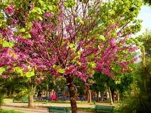 Sakura kwiat, pojedynczy drzewo w parku Obrazy Royalty Free