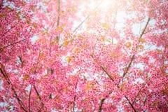 Sakura kwiat w Japonia Fotografia Stock