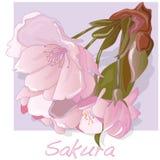 Sakura kwiat wektor ilustracja wektor