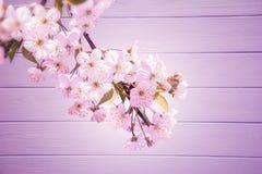 Sakura kwiatu Czereśniowy okwitnięcie Obrazy Royalty Free