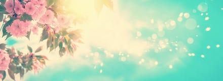 Sakura kwiatu czereśniowy okwitnięcie panoramiczny Kartka z pozdrowieniami tła szablon Płytka głębia Miękki rocznik tonujący Zdjęcia Stock