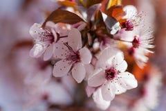Sakura kwiaty Fotografia Royalty Free