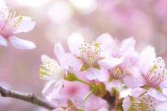Sakura kwiaty Zdjęcie Stock