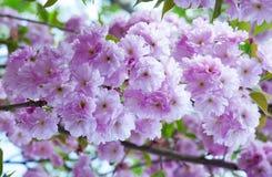 Sakura kwiaty obrazy royalty free
