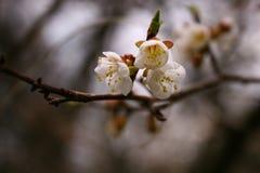 Sakura kwiaty Fotografia Stock