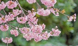 Sakura kwiaty, Czereśniowy okwitnięcie Obraz Royalty Free