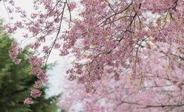 Sakura kwiaty, Czereśniowy okwitnięcie Fotografia Stock