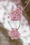 Sakura kwiaty, Czereśniowy okwitnięcie Fotografia Royalty Free