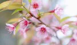 Sakura kwiaty, Czereśniowy okwitnięcie Zdjęcia Royalty Free
