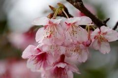 Sakura kwiaty wieszają swój głowę, adobe rgb Obrazy Royalty Free