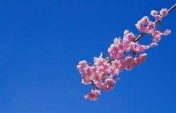 Sakura kwitnie lub Japońscy wiśnia kwiaty Obrazy Stock