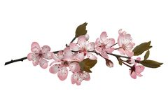 Sakura kwitnie tło Obraz Stock