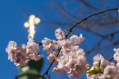 Sakura kwitnie tylko kwitnie w wiośnie na drzewie Przeciw półdupkom Obrazy Stock