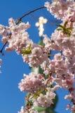 Sakura kwitnie tylko kwitnie w wiośnie na drzewie Przeciw półdupkom Zdjęcia Royalty Free