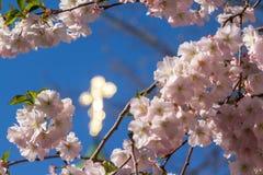 Sakura kwitnie tylko kwitnie w wiośnie na drzewie Przeciw półdupkom Zdjęcie Royalty Free