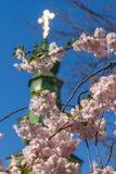 Sakura kwitnie tylko kwitnie w wiośnie na drzewie Przeciw półdupkom Obraz Stock