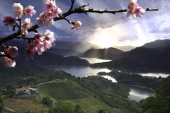 Sakura kwitnie wśród herbacianego ogródu obraz royalty free