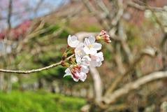 Sakura kwitnie w Japonia Zdjęcia Stock