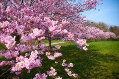 Sakura kwitnie w okwitnięciu obrazy royalty free