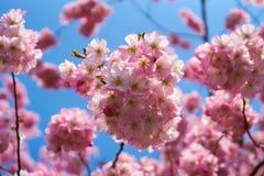 Sakura kwitnie w okwitnięciu zdjęcia royalty free