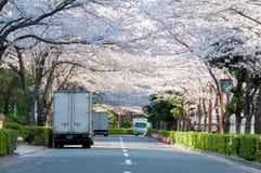 Sakura kwitnienie przy ulicą w biznesowym terenie Obrazy Royalty Free