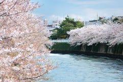 Sakura kwitnienie wzdłuż kanału w Tokio Obrazy Royalty Free