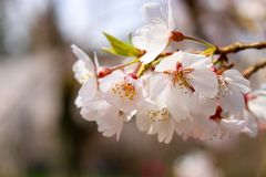 Sakura. From kyoto imperial palace Royalty Free Stock Images