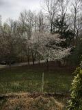 Sakura fotografie stock libere da diritti