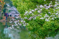 Sakura Lake-Jiangxi Academy de la sylviculture image libre de droits