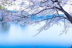 Sakura Lake-Jiangxi Academy de la sylviculture photos libres de droits