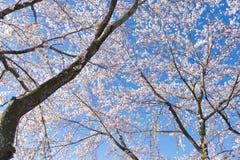 Sakura at Lake Kawaguchiko Royalty Free Stock Photos