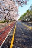 Sakura langs de weg Stock Foto's