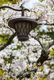 Sakura Lantern Royalty Free Stock Photography